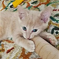 Domestic Shorthair Cat for adoption in Brownsboro, Alabama - Kramer