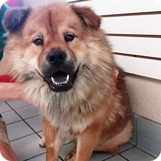 Chow Chow/Retriever (Unknown Type) Mix Dog for adoption in Sacramento, California - Scooby