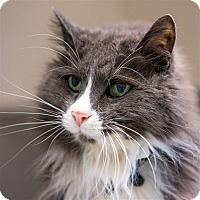 Domestic Longhair Cat for adoption in Golden, Colorado - Harley