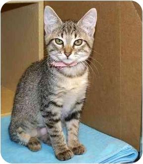 Domestic Shorthair Kitten for adoption in Houston, Texas - Jane