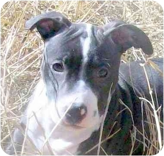 American Staffordshire Terrier/Terrier (Unknown Type, Medium) Mix Puppy for adoption in Sacramento, California - Amber.pup