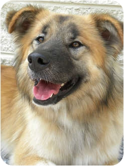 Golden Retriever/German Shepherd Dog Mix Dog for adoption in Knoxville, Tennessee - Sahara