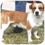 Photo 4 - Corgi/Beagle Mix Dog for adoption in Bellflower, California - Henry