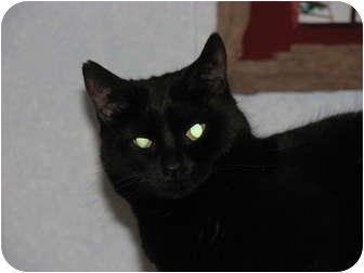 Domestic Shorthair Cat for adoption in Richfield, Ohio - Star