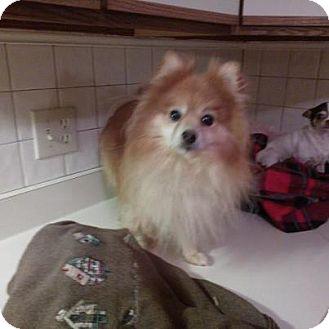 Pomeranian Dog for adoption in Wallingford Area, Connecticut - Columbo