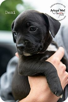 Rat Terrier/Boxer Mix Puppy for adoption in Burbank, California - Demi - 8 wk old pup!