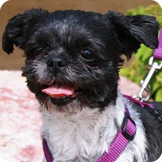 Shih Tzu Dog for adoption in Gilbert, Arizona - Katy