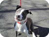 Pit Bull Terrier Mix Dog for adoption in Berlin, Connecticut - 95 Chloe