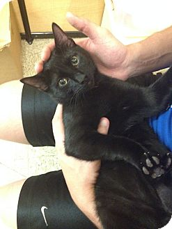 Domestic Shorthair Kitten for adoption in Miami, Florida - Max