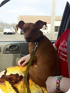 Miniature Pinscher Dog for adoption in Mentor, Ohio - TINY TINA
