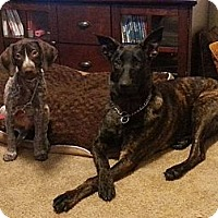 Adopt A Pet :: Abby * Courtesy Post* - Fort Riley, KS