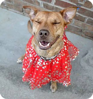 Terrier (Unknown Type, Medium)/Pit Bull Terrier Mix Dog for adoption in Charlotte, North Carolina - Carmen