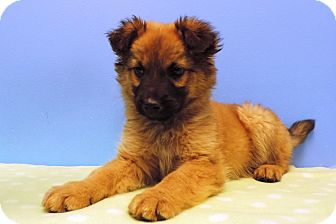 Shepherd (Unknown Type) Mix Puppy for adoption in Brookings, South Dakota - Rodney