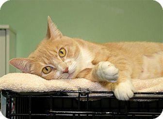 Domestic Shorthair Cat for adoption in Milford, Massachusetts - Sandee