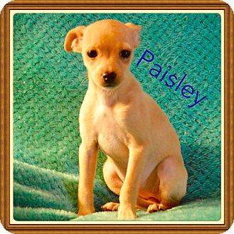 Chihuahua Mix Puppy for adoption in Glastonbury, Connecticut - Paisley