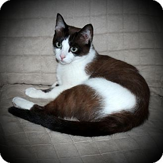 Snowshoe Cat for adoption in Flushing, Michigan - Tillie