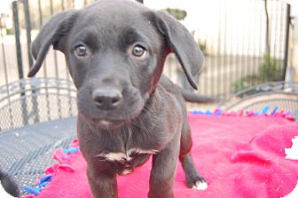 Labrador Retriever Mix Puppy for adoption in PARSIPPANY, New Jersey - MOLLI