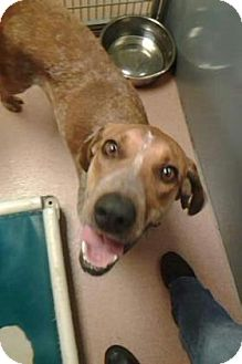 Coonhound Mix Dog for adoption in Columbus, Georgia - Beesley 9904
