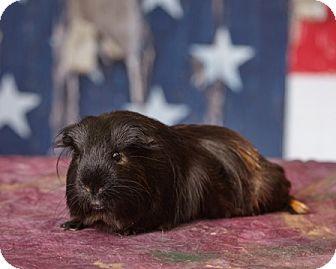 Guinea Pig for adoption in Harrisonburg, Virginia - Sven