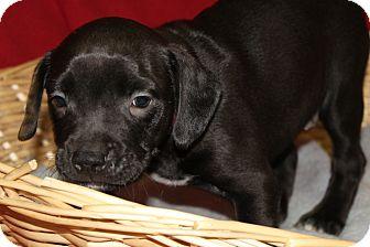 Labrador Retriever Mix Puppy for adoption in Waldorf, Maryland - Jessie