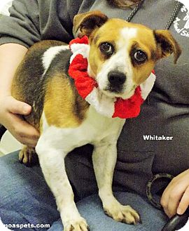 Jack Russell Terrier/Beagle Mix Dog for adoption in Danielsville, Georgia - Whitaker