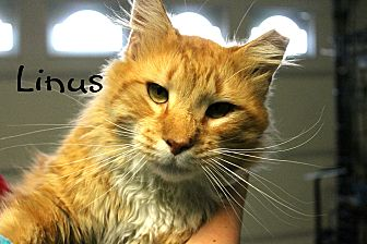 Domestic Longhair Cat for adoption in Wichita Falls, Texas - Linus