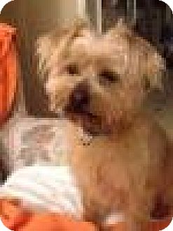 Norwich Terrier Mix Dog for adoption in Livonia, Michigan - Teddy-ADOPTED