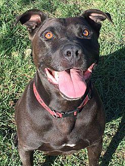 Labrador Retriever/American Pit Bull Terrier Mix Dog for adoption in Ojai, California - BIJOU