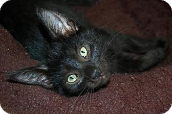 Domestic Shorthair Kitten for adoption in Bradenton, Florida - Babylon