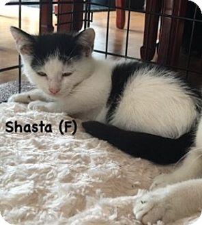 Domestic Shorthair Kitten for adoption in West Orange, New Jersey - Shasta