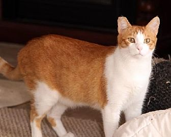 Domestic Shorthair Cat for adoption in Ventura, California - Elbe