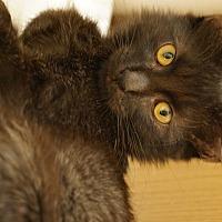 Domestic Shorthair Cat for adoption in Parkton, North Carolina - Smokey