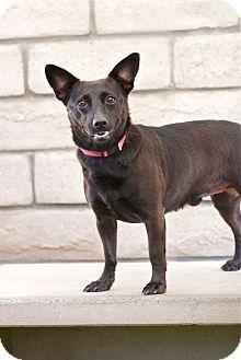 Basenji/Dachshund Mix Dog for adoption in Coronado, California - Benny