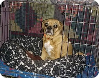 Pug/Beagle Mix Dog for adoption in Morris, Illinois - DYLAN