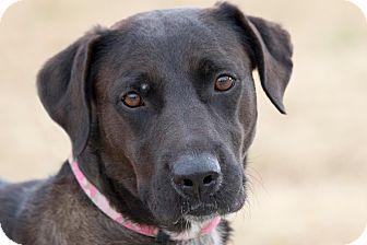 Labrador Retriever/Blue Heeler Mix Dog for adoption in Broken Arrow, Oklahoma - Sissy