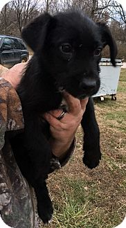 Terrier (Unknown Type, Medium)/German Shepherd Dog Mix Puppy for adoption in Loogootee, Indiana - Andy