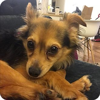 Papillon/Chihuahua Mix Puppy for adoption in Los Angeles, California - Panama-Jack - VIDEO!
