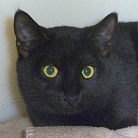 Domestic Shorthair Cat for adoption in Carmel, New York - Dela