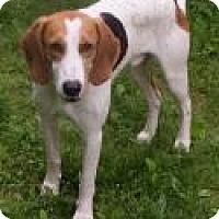 Foxhound/Hound (Unknown Type) Mix Dog for adoption in Fairfax, Virginia - Jethro