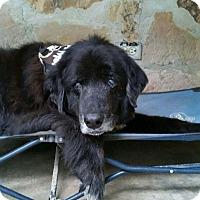Adopt A Pet :: Jumbo - Mount Pleasant, SC