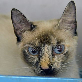 Domestic Shorthair Cat for adoption in Brooksville, Florida - 10311387
