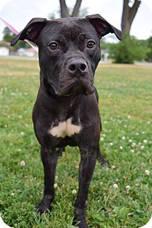 Pit Bull Terrier Mix Dog for adoption in Steger, Illinois - Cola