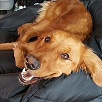 Adopt A Pet :: Gabriella - Courtesy Posting - New Canaan, CT
