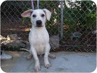 Hound (Unknown Type)/Shar Pei Mix Puppy for adoption in El Cajon, California - Parker
