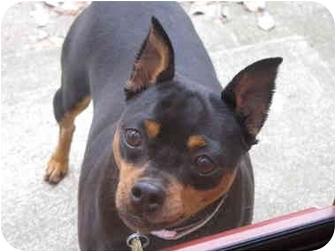 Miniature Pinscher Dog for adoption in Columbus, Ohio - Matrix