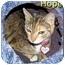 Photo 1 - Domestic Shorthair Cat for adoption in Aldie, Virginia - Hope