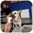 Photo 2 - Rat Terrier Mix Dog for adoption in BLACKWELL, Oklahoma - Suzie