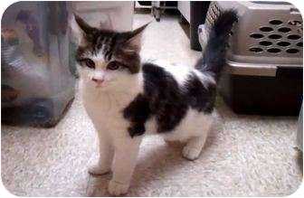 Domestic Longhair Kitten for adoption in Irvine, California - Milo