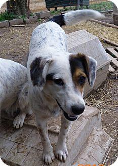 Beagle/Terrier (Unknown Type, Medium) Mix Dog for adoption in Oakland, Arkansas - Felicia