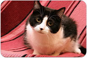 Domestic Shorthair Cat for adoption in Sterling Heights, Michigan - Sasha - ADOPTED!